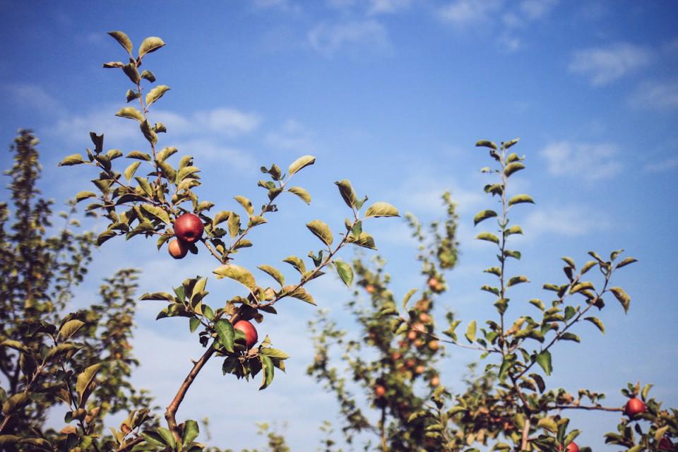 Apfelbäume Altes Land