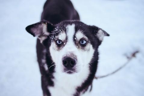 Lappland Levi Schlittenhund Husky
